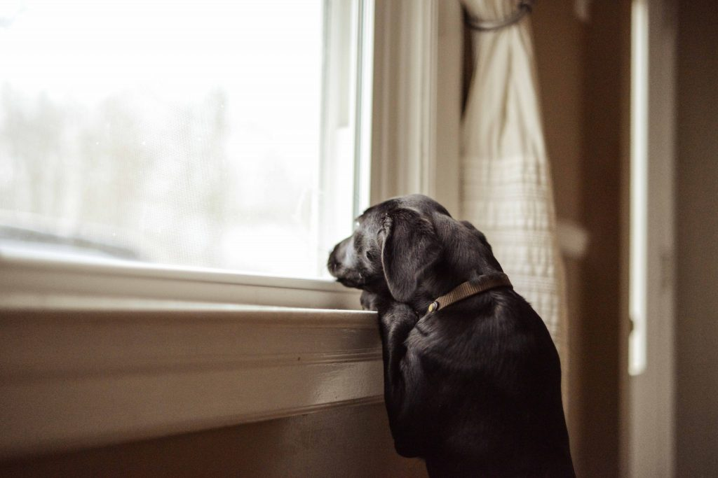 waiting dog at window