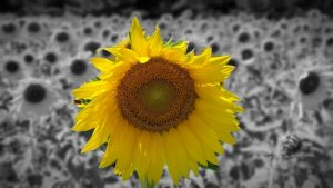 A single sunflower highlighted in color with the rest of the field in black and white, summer